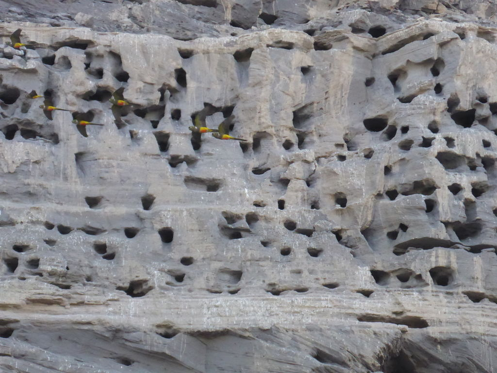 Parrot nests in the cliff